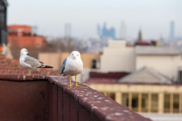 Чайка-попрошайка